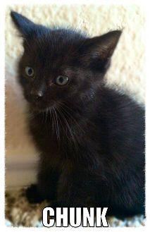 Mckinney Tx Domestic Shorthair Meet Chunk A Kitten For Adoption Http Www Adoptapet Com Pet 11437598 Mckinne Kitten Adoption Pets Pet Adoption
