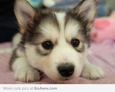 Baby Husky d'Awwwww