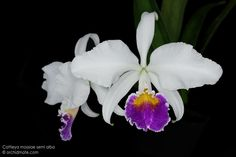 Cattleya mossiae semi alba from our private collection.
