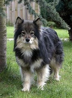 Shop finnish lapphund full 2 notepad created by BreakoutTees. Cute Dogs And Puppies, All Dogs, Popular Dog Breeds, Alaskan Malamute, Dogs Of The World, Pet Gifts, Cute Animals, Baby Animals, Dog Cat