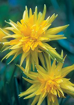 Heirloom Daffodil 'Rip van Winkle'--oh wow, have never seen any of these, not even a picture before.