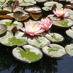 Water Lilies in the botanical garden