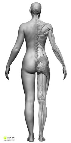 Our female Écorché model has been sculpted to match one of our full body colour scans. The advantage being it's based on true proportions, rather than stylised.  Dataset includes ::  :: 1 x High Resolution ZTL with layers:: 1 x Decimated ZTL with layers:: 1 x Decimated combined OBJ Ecorche:: 1 x