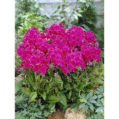 Plamenka latnatá Miss Mary červená průměr květináče cca 9 cm