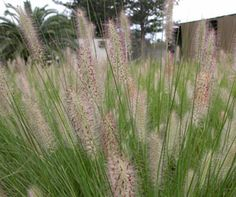 NAFRAY® is a compact drought tolerant Pennisetum | Ornamental Native Australian Grass approx 60cm round. Non invasive.