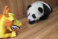 A panda cub looks at a toy dragon, a New Year gift, in a nursery room in China.  Image by CHINA DAILY / Reuters