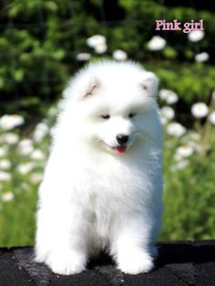 Top Samoyed Chubby Adorable Dog - 30c6d19ee3bc0d3e6df7bba95a18ef10--samoyed-puppies-puppys  Gallery_662325  .jpg