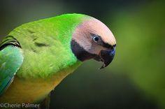 Female Moustached parakeet