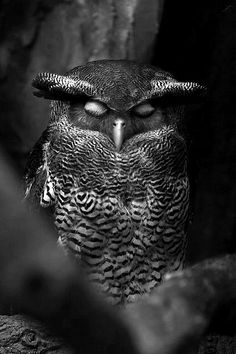 Sleepy owl / black & white animal photography pictures / forest creatures / birds / owls