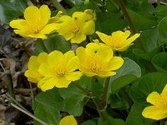 Hardy Aquatic Plants - Cowslip, Caltha palustris - #PoseidonPlants