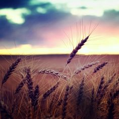 Wheat fields on the plains...