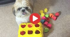 Videos Archives - Shih Tzu Buzz Small Puppy Breeds, Small Puppies, Shih Tzu Puppy, Things That Bounce, Website, Videos, Dogs, Baby Shih Tzu, Tiny Puppies