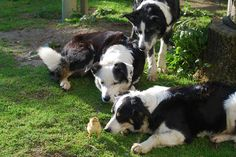 How many working border collies does it take to herd a single chick?