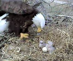 Eagle Cam in Decorah, Iowa.  There are 3 babies. This is so addicting.    http://www.decoraheaglecamalerts.com/