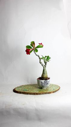 Desert Rose Bonsai Tree by LiveBonsaiTree by LiveBonsaiTree