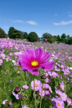 Field of Pink Cosmos Flowers