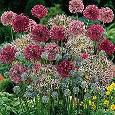 Allium Cottage Garden Mixed 50 bulbs