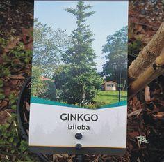 GINKGO BILOBA GINGO