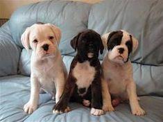 cachorros boxer - Buscar con Google