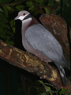 Collared Imperial Pigeon or Black-Necked Fruit Dove - European fruit pigeons…