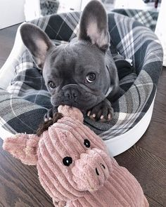 & Sociable & Easygoing & Playful Miniature Bulldog Source by lifeis_goodxo The post Cute French Bulldog appeared first on McGregor Dogs. Super Cute Puppies, Baby Animals Super Cute, Cute Baby Dogs, Cute Little Puppies, Cute Dogs And Puppies, Cute Little Animals, Cute Funny Animals, Doggies, Cutest Dogs