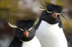 Pingüino penacho amarillo. .Puerto deseado.