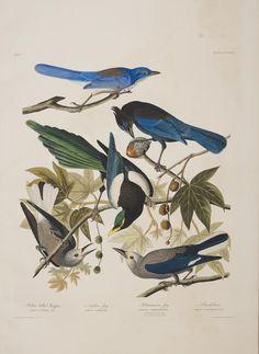 Audubon / Yellow-billed Magpie / Plate CCCLXI