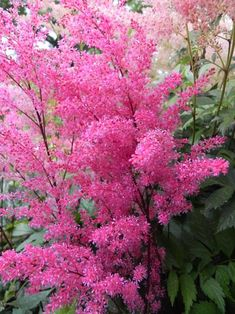 Astilbe flowers June and July shade loving grows up to 60cm high.