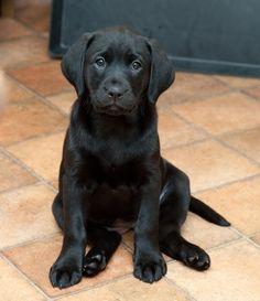 Chica - cheeky black labrador puppy