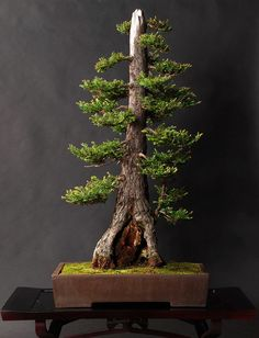 arvores bonsai 18