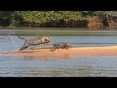 Spectacular jaguar attack captured on video -- Big cat is observed silently stalking and then attacking and immobilizing alligator-like caiman in Brazilian wetlands; 'This guy knew his business.'  Pete Thomas | GrindTV.com, National Geographic images and information