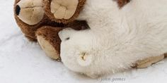 This is Precious!    Kali the Polar Bear cub with a toy bear (© John Gomes/Alaska Zoo)
