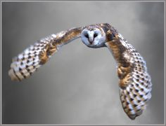 Barn owl flying silently home – tyto alba – Anima Care Tyto Alba, Owl Tattoo Design, Owl Pictures, Owl Pics, Owl Always Love You, Beautiful Owl, Wise Owl, Animal Totems, Owls