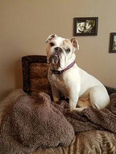 English Bulldogs, French Bulldog, Bulldog Quotes, Animals, Bulldog Frances, Animaux, French Bulldog Shedding, Animal, Animales