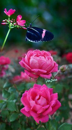 monika campos - Google+ Beautiful Butterflies, Beautiful Roses, Beautiful Flowers, Beautiful Pictures, Butterfly Wallpaper, Rose Wallpaper, Butterfly Photos, My Flower, Flower Power