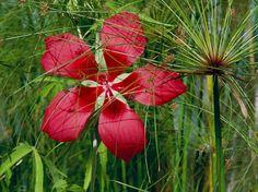 L'#hibiscus des #marais s'acclimate au Sud issu des #marécages du sud des États-Unis