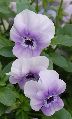 ~~Viola 'Corina Marina' by GPN and LGR~~