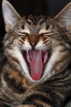 Tab caught mid-yawn.