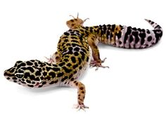 These Leopard Geckos make great beginner #pets.