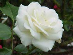 Resultado de imagem para rosas