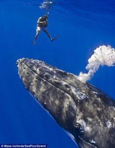 Um fotógrafo japonês registou o encontro entre um amigo, com quem mergulhava, e uma amistosa baleia, que quis contactar com os mergulhadores.