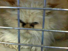 Himalayan cats in ky
