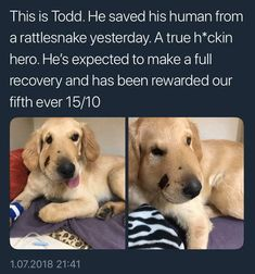 """*Ouch!* ...poor little man, still stepped up when his person needed him! Damn Good Boy with two snaps up! Pp: """"HECKIN GOOD BOYE"""" Funny Cute, Cute Funny Animals, Funny Animal Pictures, All Dogs, Dogs And Puppies, Doggies, Shepard Mix, Cute Dogs, Cute Puppies"""