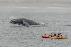 Whale Watching in California | Humpback Whale near Kayakers in Monterey Bay, California