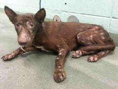 Houston, TX ~GODIVA-ID#A1256117  My name is GODIVA.  I am a female, chocolate point German Shepherd Dog mix.  The shelter staff think I am about 2 year...