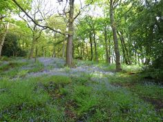 Bluebellerama - every May in the National Trust estate of Hardcastle Crags, just down the hill from Elmet Farmhouse holiday cottage above Hebden Bridge Hebden Bridge, Yorkshire Dales, Countryside, Paradise, Country Roads, Farmhouse, Cottage, National Trust, Walks