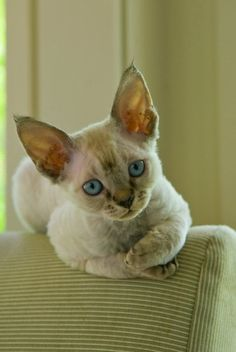 My Devon Rex Kittens - #cat - Different Tiny Cat Breeds at Catsincare.com!