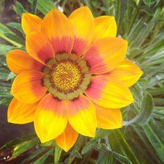 Bom dia!!! Um ótima semana a todos! Morning!! 🌻💚🕵 #morning #bomdia #dia #day #naturephotography #nature #flower #flor #flores #linda #amarelo #yellow #bio #vida #pic