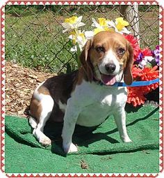 Marietta, GA - Beagle. Meet LUCY, a dog for adoption. http://www.adoptapet.com/pet/12669027-marietta-georgia-beagle