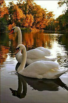 """Zhui Star Full Square Diamond DIY Diamond Painting Photo Custom """"Swan in the water"""" Embroidery Cross Stitch Mosaic Decor Beautiful Swan, Beautiful Birds, Animals Beautiful, Beautiful Places, Swans, Animals And Pets, Cute Animals, All Gods Creatures, Bird Pictures"""
